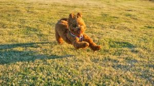 Toy poodle running