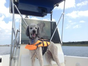 Standard poodle in boat