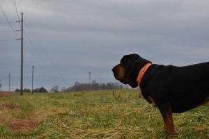 Bloodhound outdoor