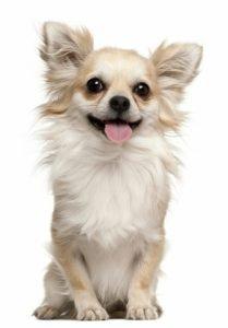 Long-Coat Chihuahua