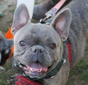 French bulldog grey