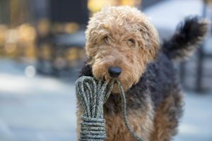 Airedale Terrier with rope