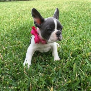 French bulldog grass