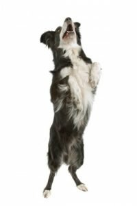 Border collie jumping