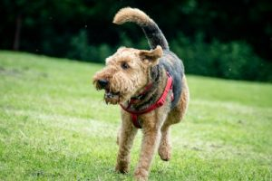 Airedale Terrier running
