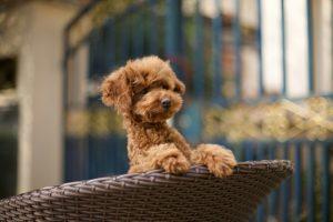 Miniature Poodle peeping