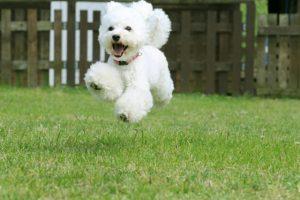 Fun run Poodle