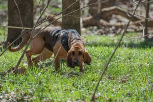 Bloodhound following trail