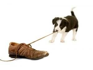 Border collie pulling shoe