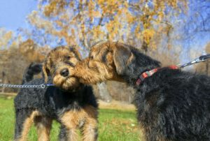 Airedale terrier kissing