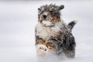 Berendoodle run in snow