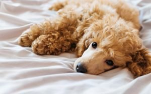 poodle lying in bed