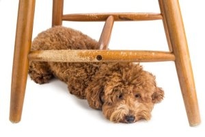 chair legs chewed by poodle