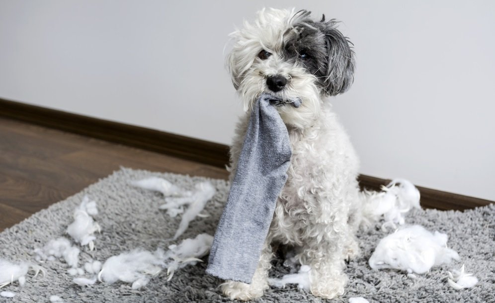 Correcting Bad Behavior in Poodles: How to Change Unwanted Behaviors