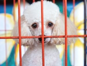poodle in crate
