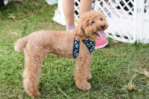 poodle in a doggy play pen
