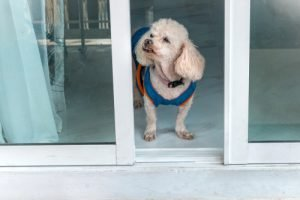 poodle ready to be let outside