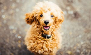 Should you buy or adopt your poodle