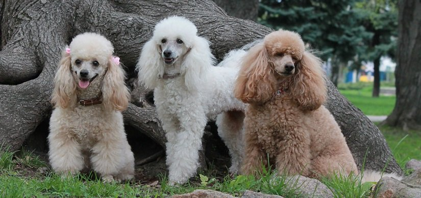 Properly Socializing Your Poodle with Other Pets