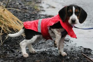 Beagle in safety jacket