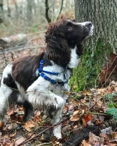 English springer spaniel tree