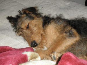 Airedale terrier sleeping