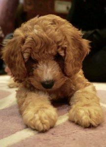 Cockapoo brown puppy