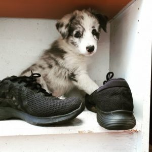 Border collie with shoes