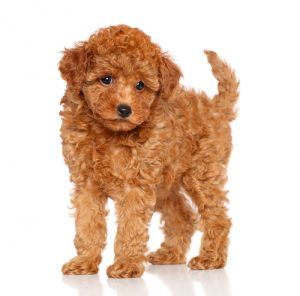 Toy Poodle Example