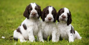 Three english springer spaniels waiting to be selected to come home