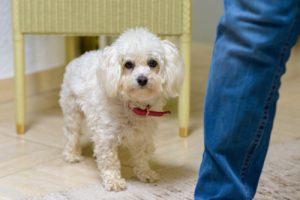 miniature poodle housebreaking