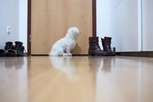 poodle by the door to go potty