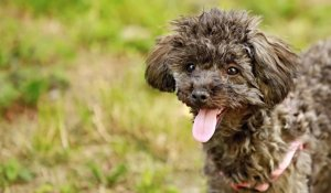 The hidden cost of poodle ownership