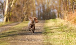 poodle running away from home