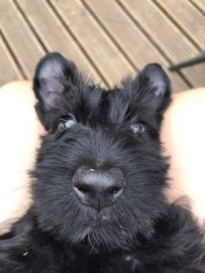 Scottish Terrier black