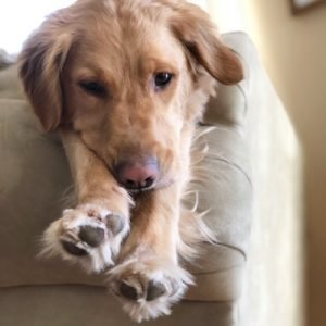 Golden retriever stretching