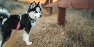 Pomsky on a walk