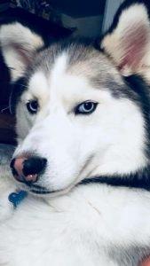 Siberian husky silver