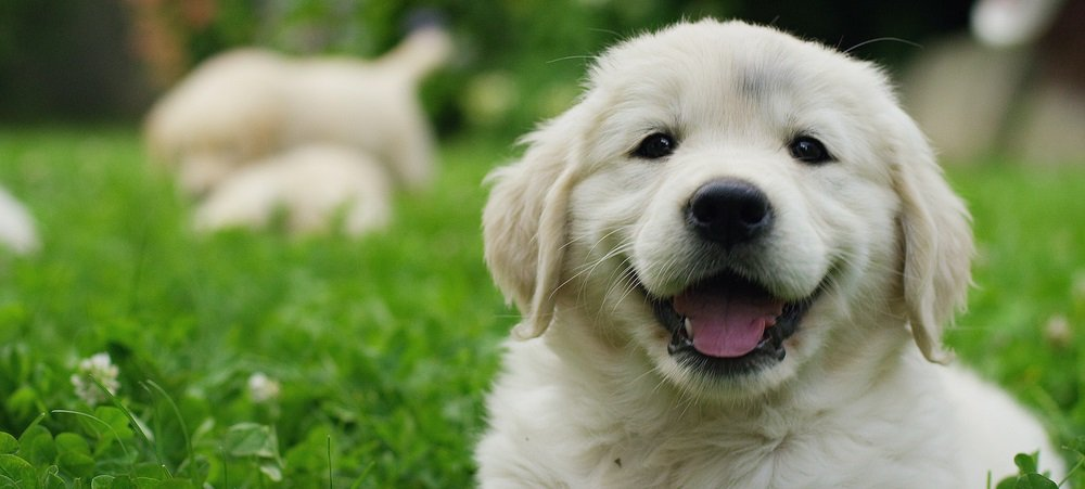 Preparing Your Home for a new Golden Retriever