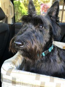 Scottish terrier senior