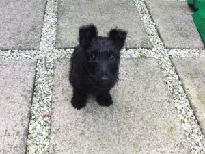 Scottish Terrier outdoor