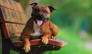 Staffie laying on a park bench