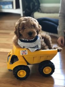 Miniature goldendoodles toy truck