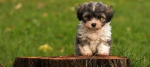 Havanese Puppy sitting on a stump