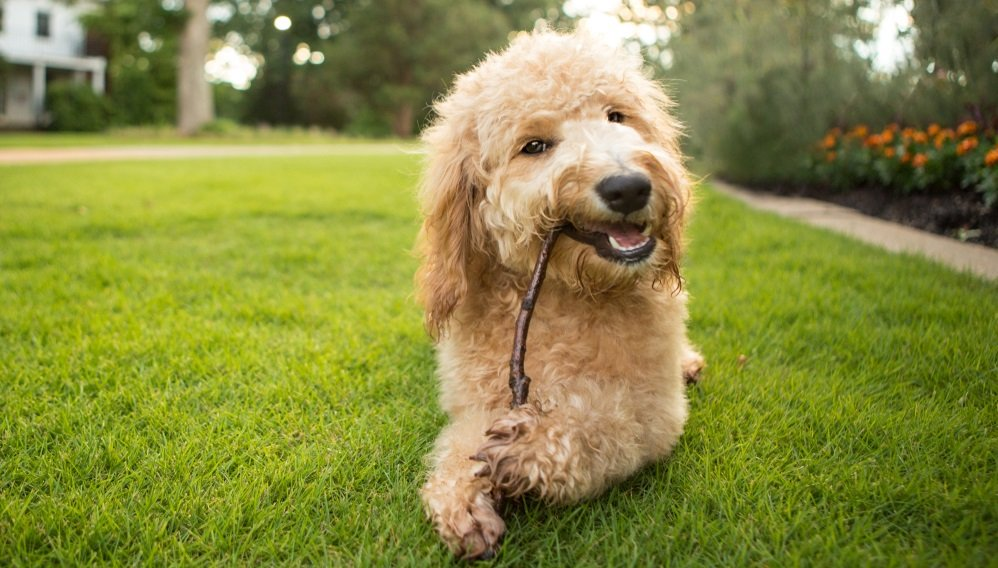 Basic Goldendoodle Nutrition and Healthcare – Everything you NEED to know