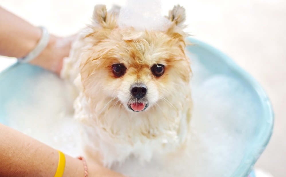 Basic Pomeranian Grooming: Tips for the New Owner