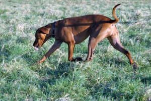 Rhodesian ridgeback outdoor walk