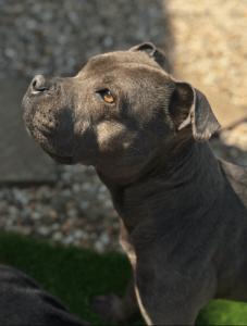 Staffordshire Bull Terrier gray