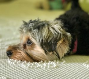 Yorkshire terrier resting
