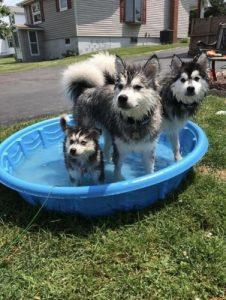 Pomsky pool